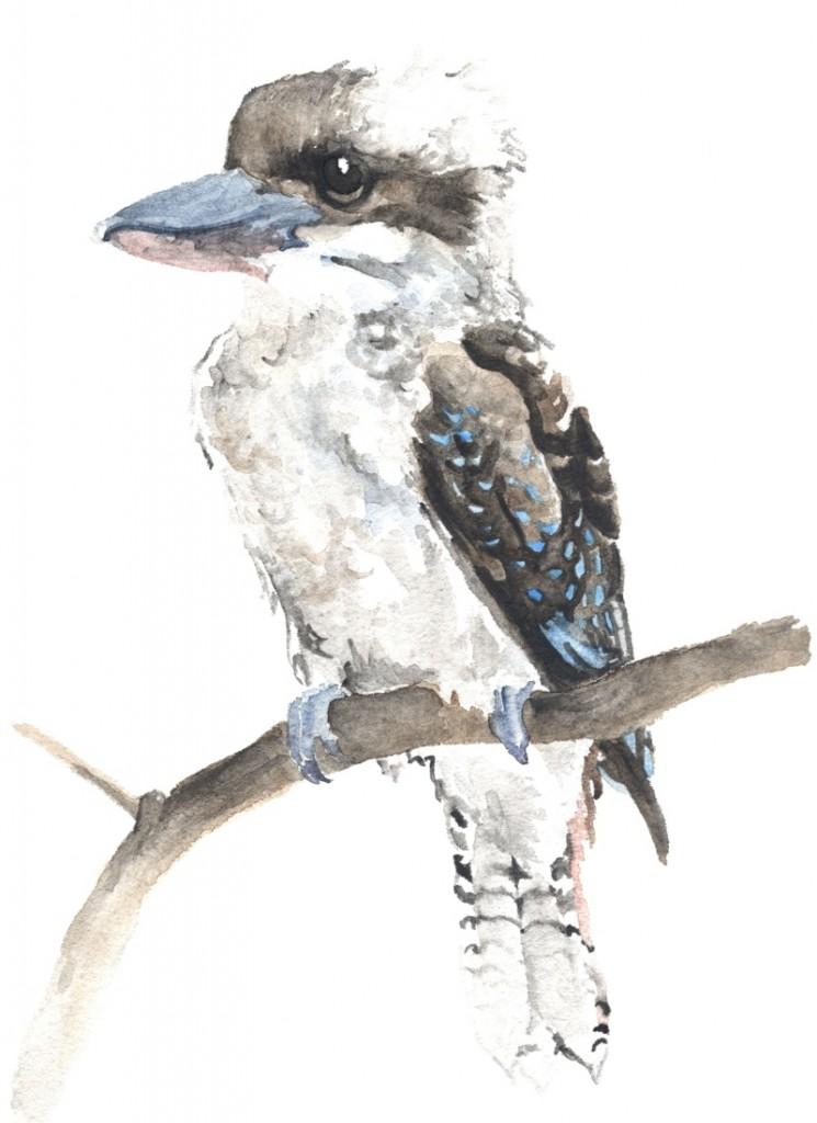 KookaburraEditMed